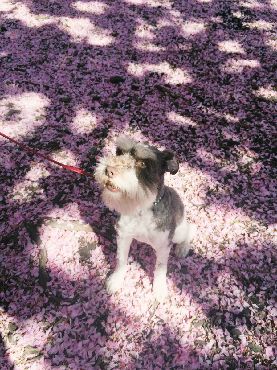 Bruno under the cherry blossoms in Prospect Park